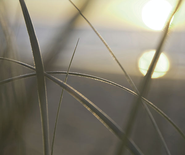 Closeup of whispy strands of grass in front of a setting sun.